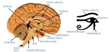 Horus ve Beyin Bölümleri